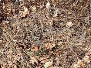 A family of ribbon snakes thought it was spring