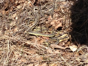 or are these garter snakes?