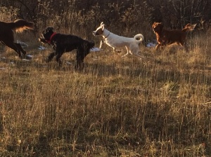 Baloo, Iggy and new friends at the Ice Age Trail dog park in Verona, WI.